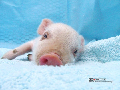This piglet is just so tired...