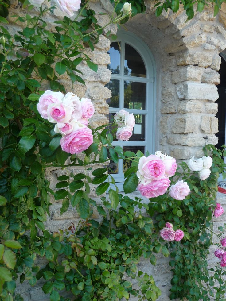 Rambling rosePink Flower, Rose Gardens, Cottages Gardens, Blue Doors, Soft Pink, English Cottages, Climbing Rose, Pretty Windows, Pink Rose