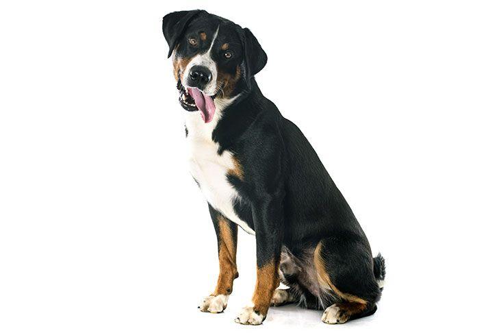 Appenzeller Sennenhund Dog Breed Information With Images Dog