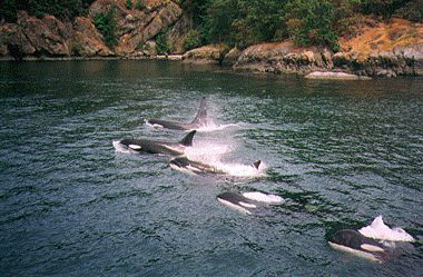 Kayaking with orcas off Orcas Island