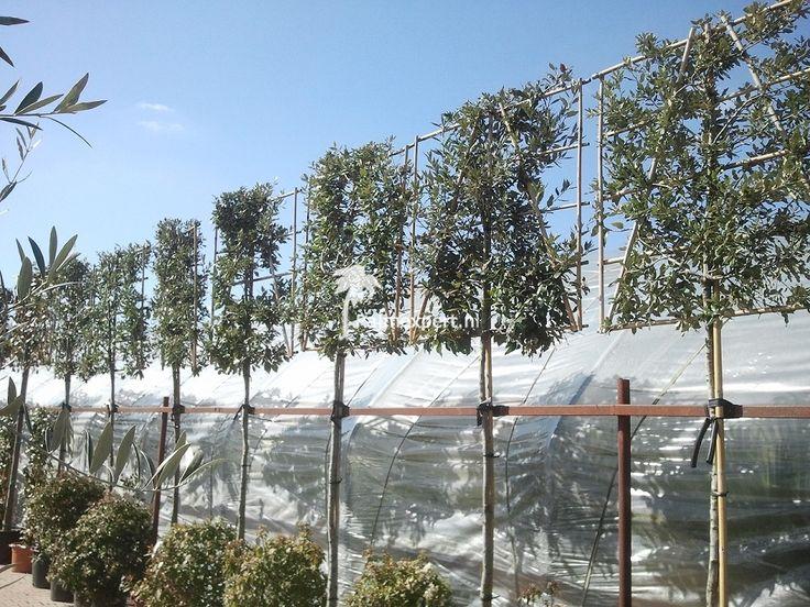 Quercus ilex voorgeleid - steeneik leivorm kopen | Maréchal