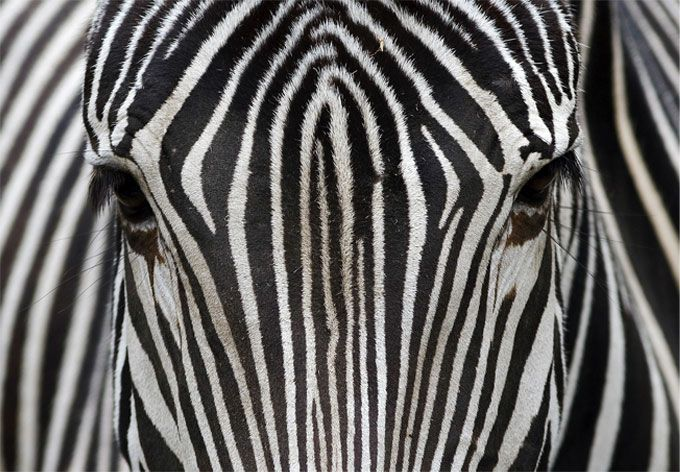 - Best Verkocht - Fotobehang Zebra Zelfklevend, 61x250cm, vanaf 89,90 €