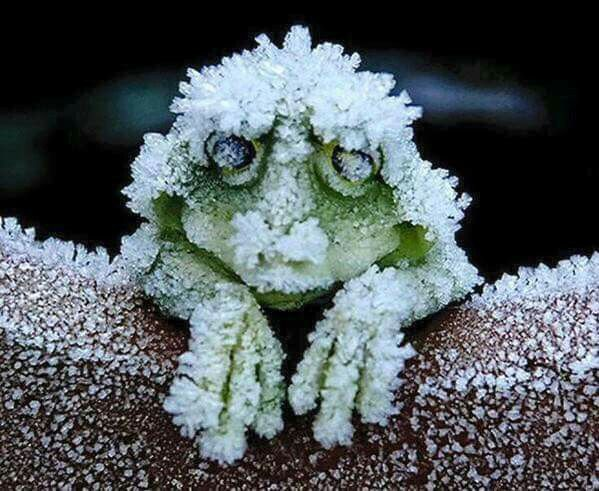 The Alaskan Tree Frog freezes solid in winter..including the stopping of his heart...and when he thaws out in the spring...he wakes up and hops away!