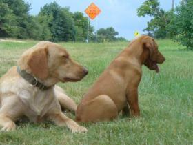 Sunni, my yellow Lab guard dog/babysitter with Tessa.