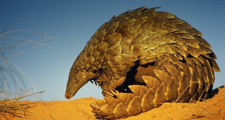 Pangolin | Ground Pangolins have a very small head, small forelegs and powerful ...