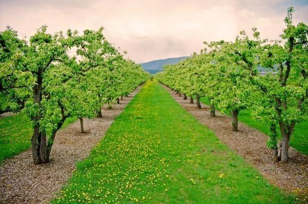 Kelowna, B.C.,  orchards
