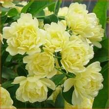 Lady Banks perfect tiny roses and its a thornless rose! Have 2 of these and love!