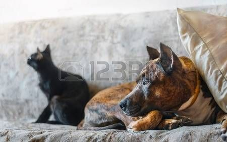 Fighting dog and her black cat resting on sofa