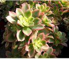 Plantes aux feuillles épaisses, rarement épineuses. Originaires d'Afrique et d'Amérique, elles sont classées par leur nom,  de A à Z.