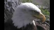Bald Eagles in Decorah, Iowa