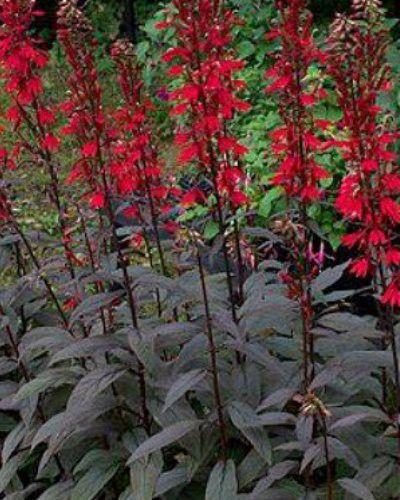 Best 25 les fleurs rouges ideas only on pinterest for Les plantes vivaces