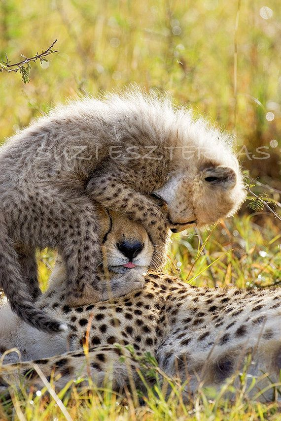 Blank Greeting Card CHEETAH BABY PLAYING with Mom by WildBabies, $4.25