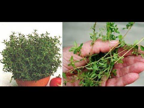 La hierba más potente que destruye los parásitos, las infecciones del tracto urinario y de la vejiga - YouTube