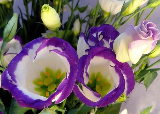 Цветок эустома многолетняя: описание выращивания из семян и правила ухода за эустомой в саду