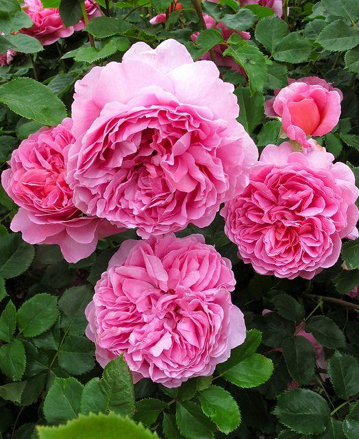 Rosa 'Princess Alexandra of Kent' | by Susan R~