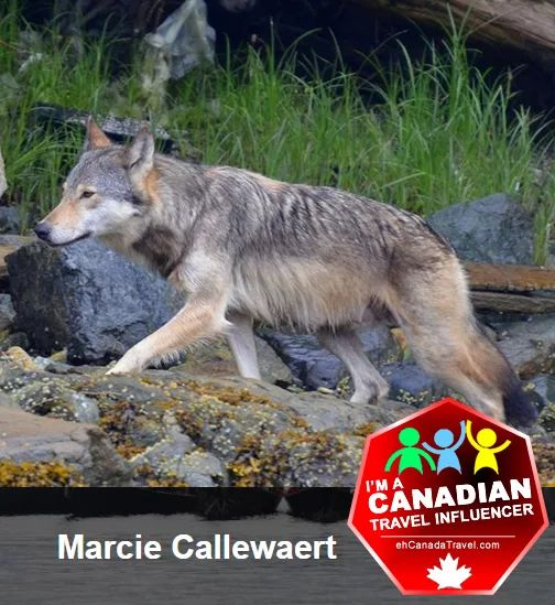 #wolf posted by #CanadianTravelInfluencer Marcie Callewaert .