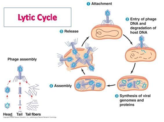 search on pinterest : lytic cycle diagram - findchart.co