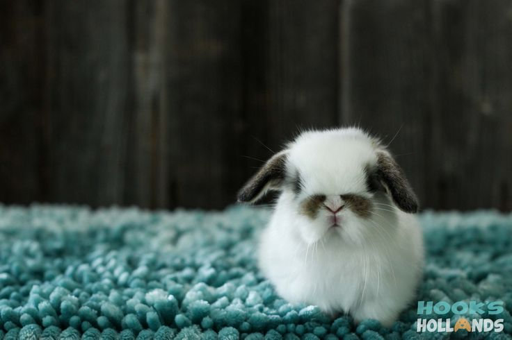 Baby broken chestnut Holland lop - Hook's Hollands Ohio Holland Lops