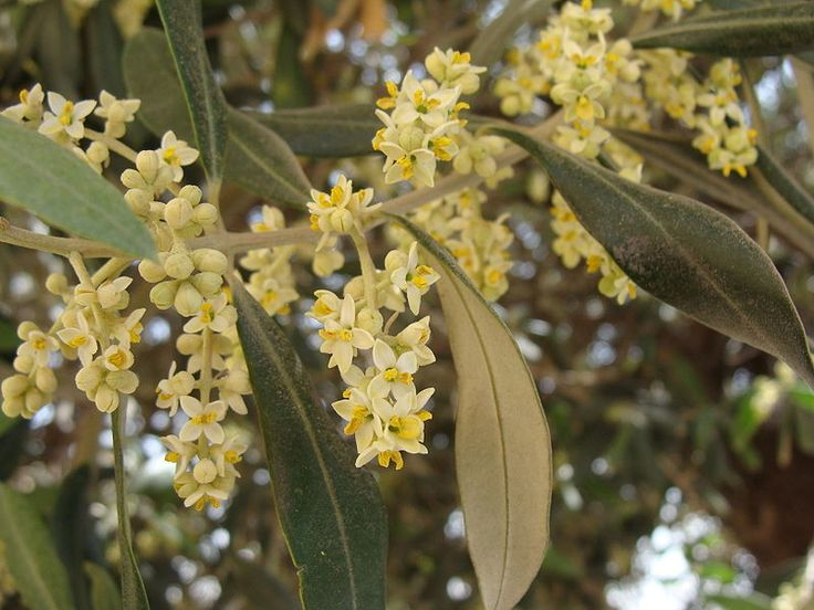 Blossoming Olive trees