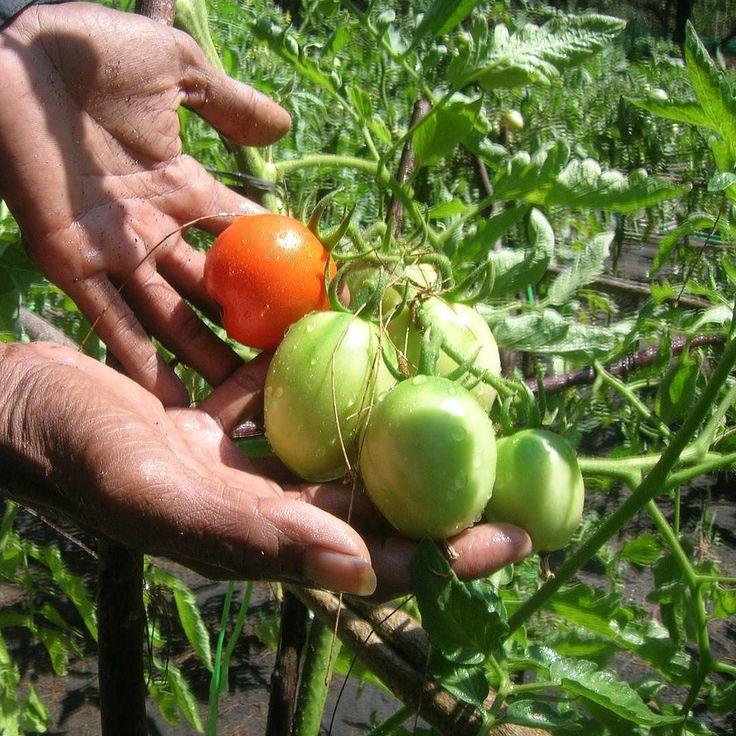 Jika ingin mengajari anak menanam coba dengan menanam tomat yuk Sobat. Bibit tanaman tomat mudah ditemui. Media penanamannya bisa macam-macam misalnya dalam pot hidroponik lahan terbuka dan sebagainya. Perawatannya juga bisa dibilang sederhana. Selain itu nanti buahnya bisa dipetik dan dikonsumsi lho. Menarik kan? . . . #IndmiraPic #Indmira #hydroponics #aquaponics #aqua #plantation #organicproducts #urbanfarming #vertikultur #verticalfarming #hidroponik #hidroponikindonesia #akuaponik…