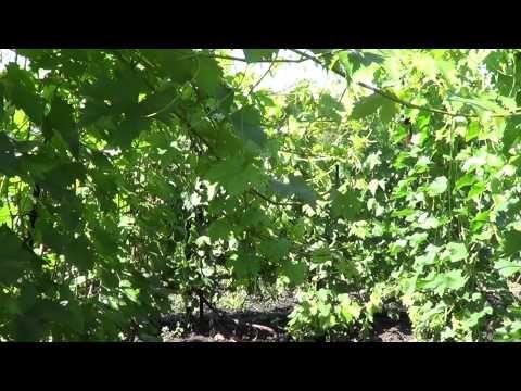 Побеги винограда переросли верхнюю проволоку. Что делать? Виноград 2015.