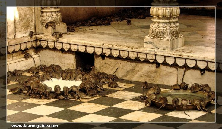 Karni Mata Temple at Deshnoke is a renowned centre for rat worship. The 600 years old temple is home to thousands of black, grey and white rats or Kaba. An image of Karni Mata, a manifestation of Goddess Durga, is depicted holding trident in her hand. It is believed the Goddess Durga lived at this place during 14th century and performed miracles.  As per folklore, feeding rats at this temple brings good fortune. According to the belief of followers, the rats would reincarnate as holy men.
