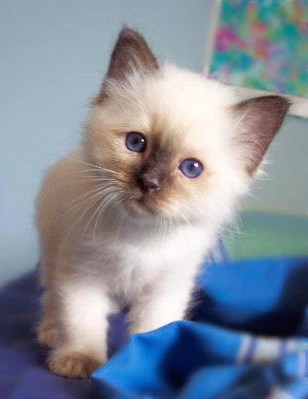 Birman is listed (or ranked) 3 on the list The Most Adorable Kitten Breeds