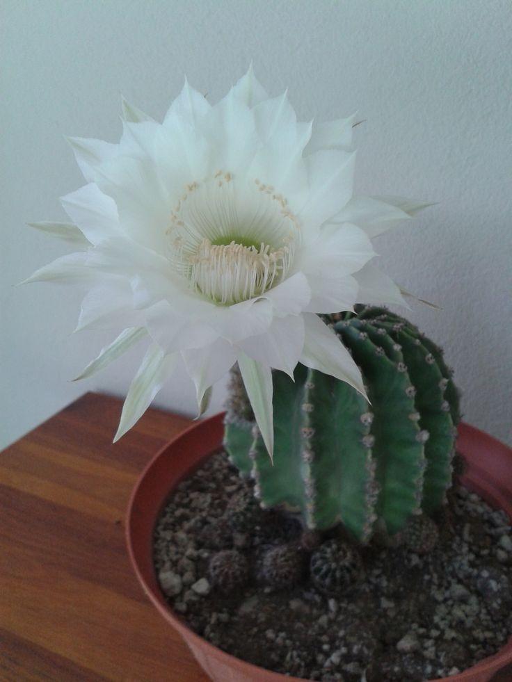 1000 images about mis cactus on pinterest santiago for Cactus santiago