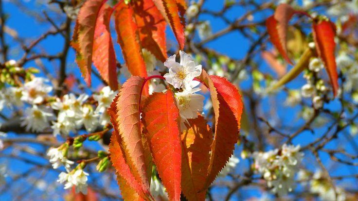 Třešňové Květy, Listopad, Podzim, Se Objeví, Výjimečný
