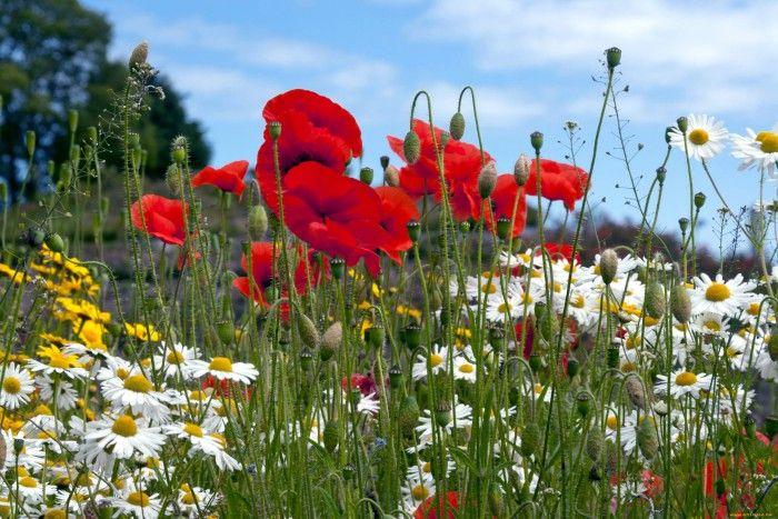 Полевые цветы - галерея фото