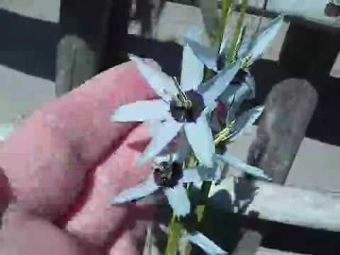 Turquoise species -- naturally found in nature - Ixia viridiflora - YouTube