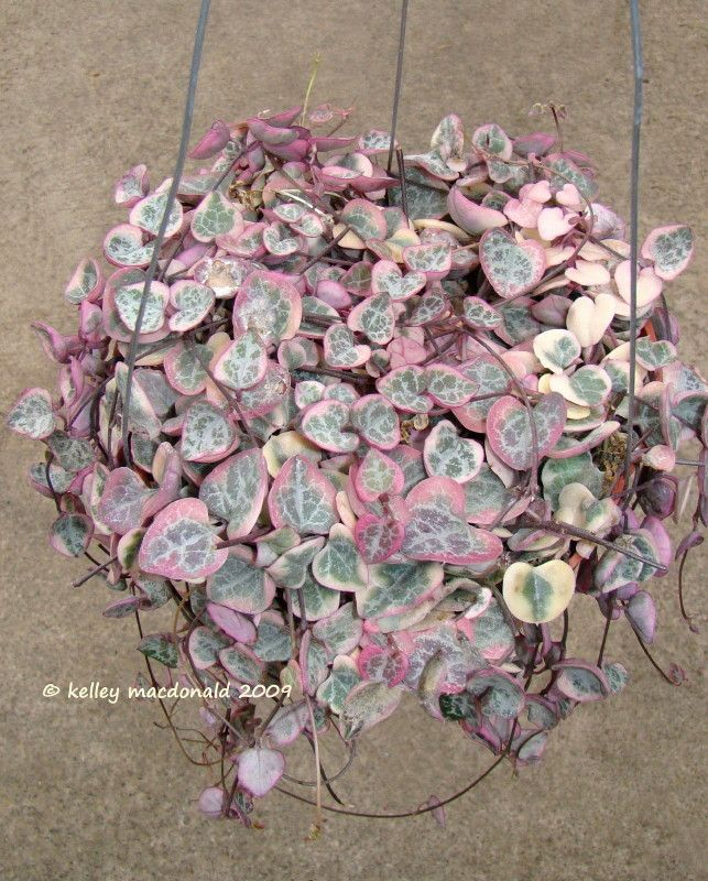Full size picture of String of Hearts 'Variegata' (Ceropegia woodii)