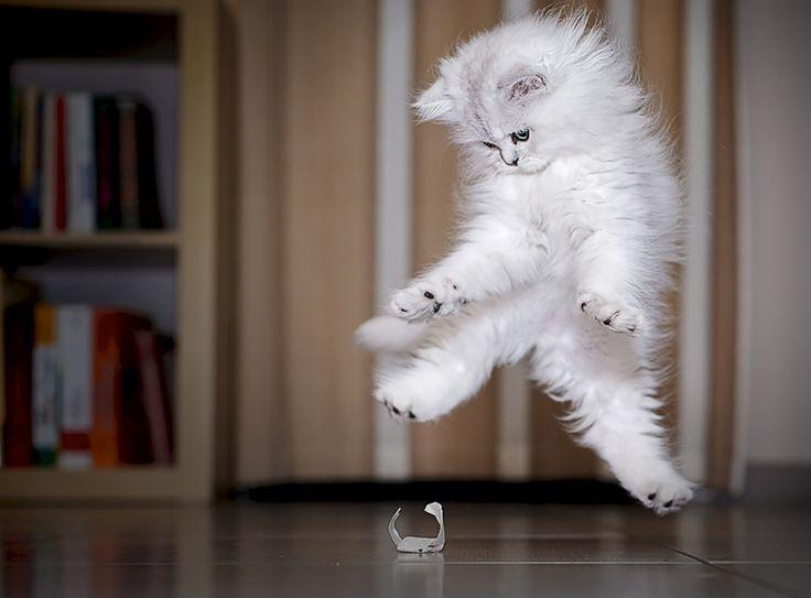Minou est beau en action, preuve avec cette série de 52 magnifiques photos de chats qui sautent.