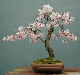 Flowering Cherry Blossom Bonsai. Would be Amazing to have one of these!