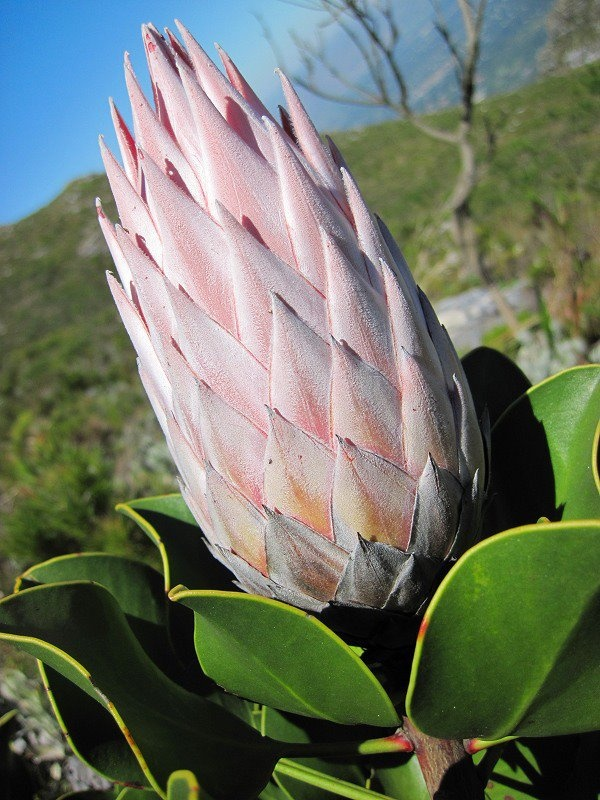 There are 9000 fynbos species found in the Cape and 2000 types on Table Mountain alone - more plant species than in the entire UK!