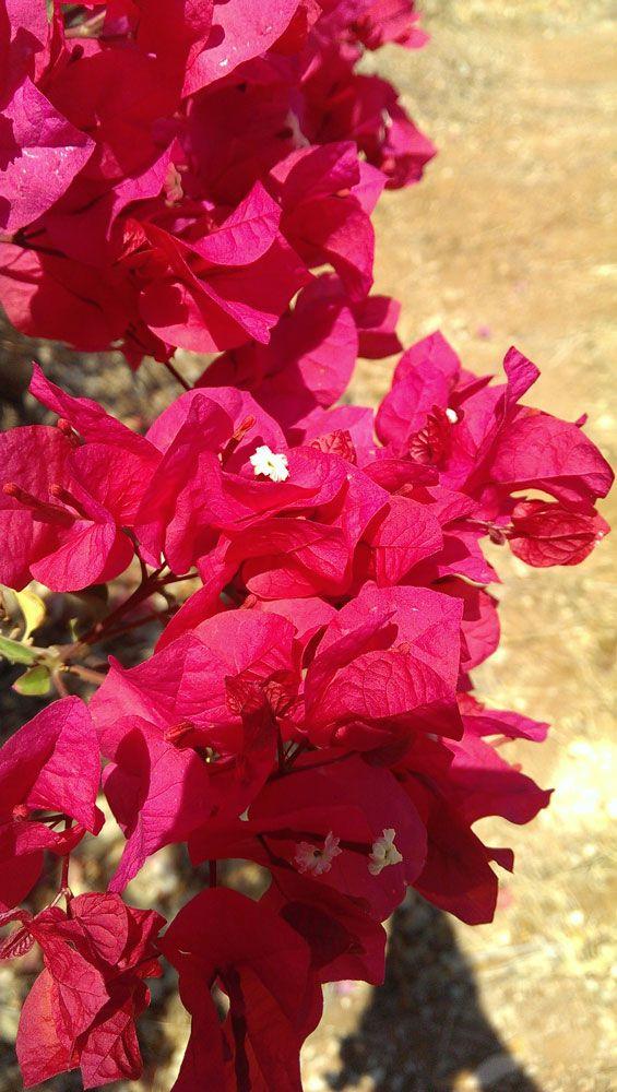 Bougainvillea glabra flowers - How to grow Bougainvillea plant, http://www.growplants.org/growing/bougainvillea-glabra