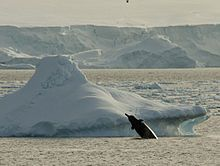 Giant beaked whale - Wikipedia, the free encyclopedia