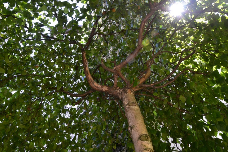 うちの庭の白樺(?)の木を内側から撮ってみた♪ ©Taky.Massaro