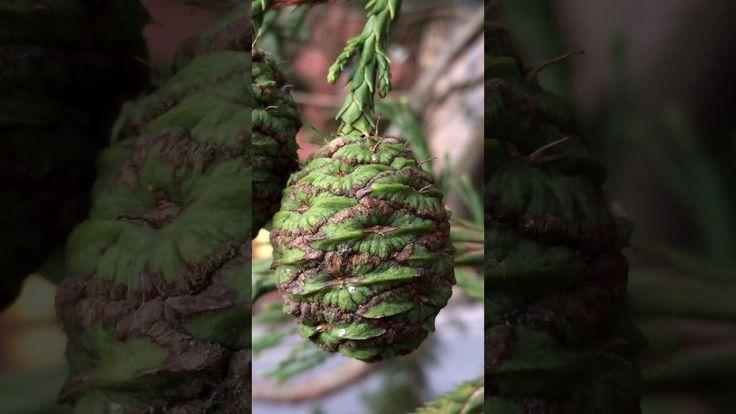 Giant redwood (Sequoiadendron giganteum) - immature female cones close up - February 2018