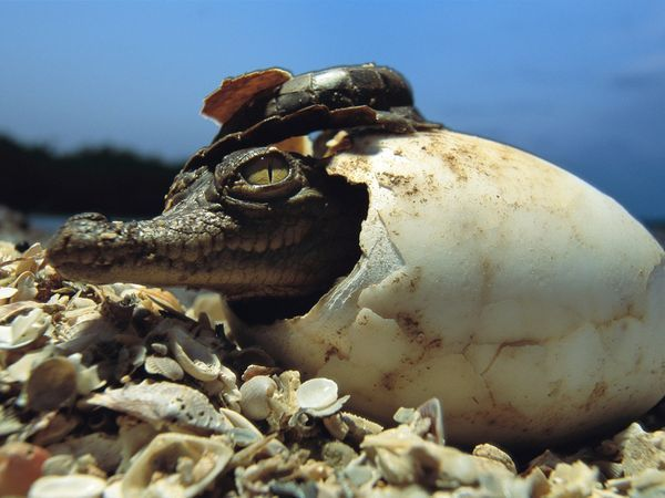 Crocodile Cracks Its ShellPhotograph by Steve WinterFemale crocs lay their eggs in clutches of 20 to 60. After the eggs have incubated for about three months, the mother opens the nest and helps her young out of their shells.