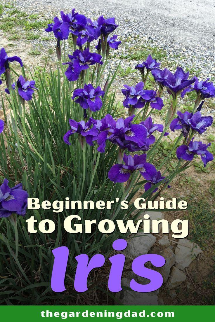 How To Grow Iris Planting Iris Bulbs In Pots The Gardening Dad Growing Irises Iris Flowers Garden Beautiful Flowers Garden