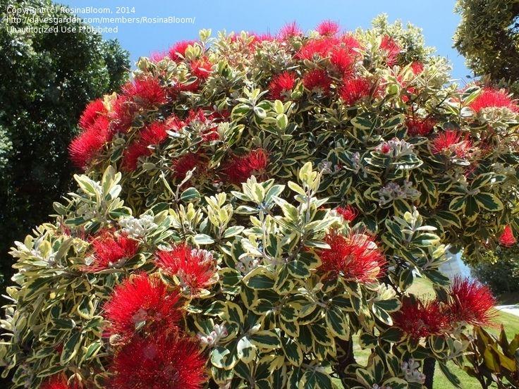 Full Size Picture Of Variegated New Zealand Christmas Tree U0027Variegatau0027  (Metrosideros Excelsa) | Growing Green Indoors And Outdoors | Pinterest |  Flowers, ...