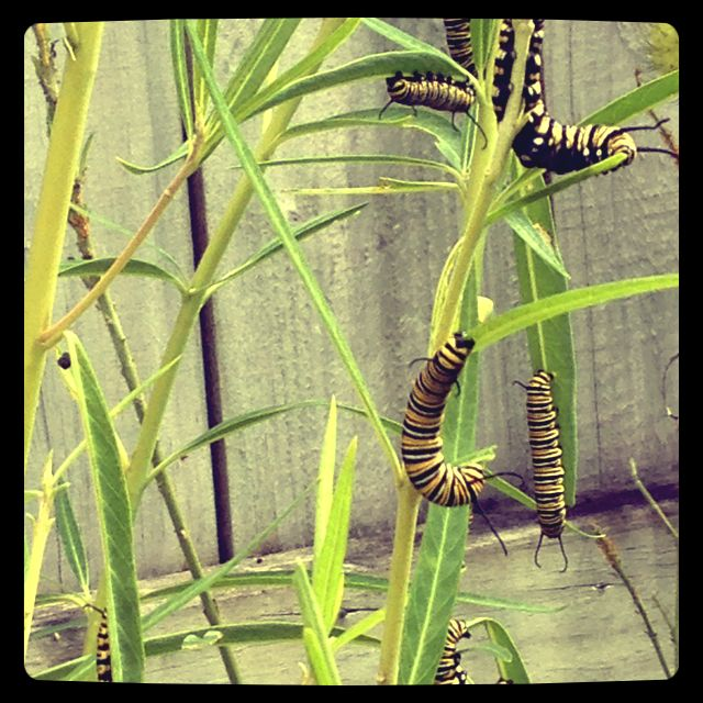 Our monarch caterpillars enjoying their swan plant jungle.