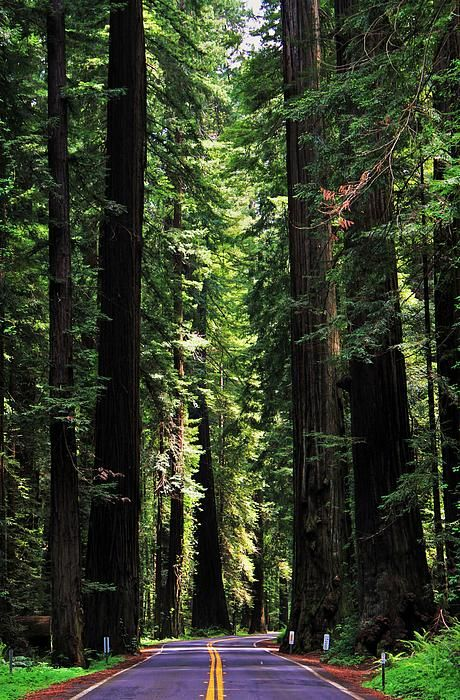 Avenue of the Giants, one of my favorite drives...& a great lace to feel like an ewok