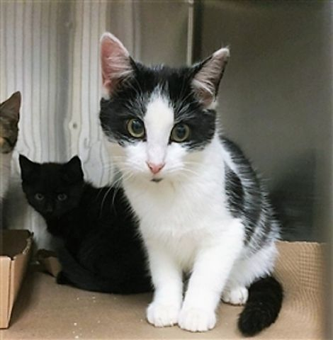 HUNTER - 11515 - - Manhattan  *** TO BE DESTROYED 11/9/17 ***SECOND CHANCE FOR BLACK AND WHITE CUTIE PIE KITTEN–MAKE IT COUNT!!! HUNTER is a 5 month old girl who needs a bit more socialization. She is kind, gentle and needs a loving foster or furever home. ONLY  HAS TIL NOON TOMORROW!!!  -  Click for info & Current Status: http://nyccats.urgentpodr.org/hunter-11515/