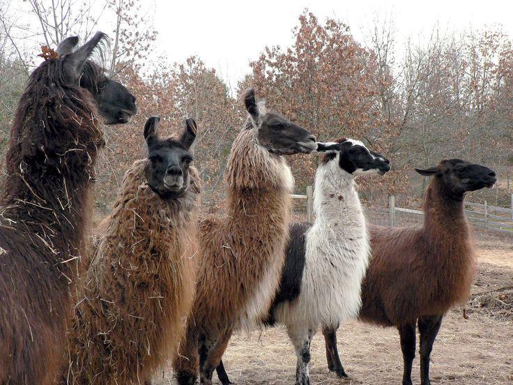563 Best Llamas & Alpacas Images On Pinterest