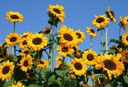 Sunflower Dog Treats