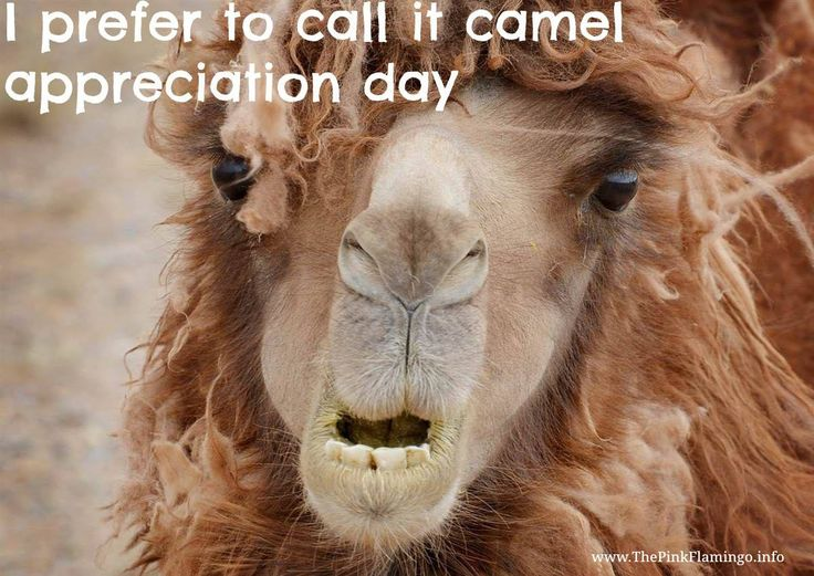 Camel Appreciation Day...