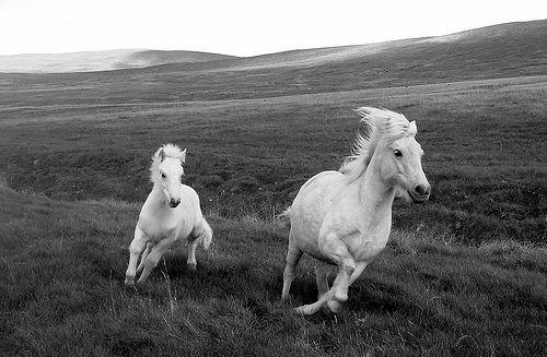 Run free: White Houses, Wild And Free, Born Free, Wildhor, Beautiful, Black White, White Hors, Animal, Wild Horses