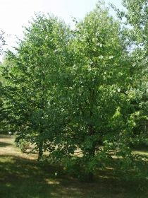 Metsälehmus.Melko suorarunkoinen ja muhkuraton metsälehmus on levinnyt pohjoisimmaksi Suomen luonnonvaraisista jaloista lehtipuista. Se on melko arka keväthalloille ja keskitalven pakkasille, mutta mesikastetta erittyy vähemmän kuin puistolehmuksella. Vanhat puut vesovat runsaasti ja alimmat oksat riippuvat. Lehdet ovat herttamaiset, tummanvihreät, alta sinivihreät. Metsälehmus kukkii myöhään heinä–elokuussa puistolehmuksen jälkeen. Se on hyvä mehiläI–V 15–20 m A–Pv Tuo Ra+++ Ca+
